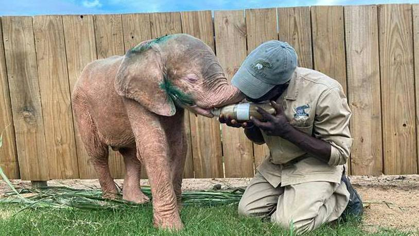 "Das gerettete Albino-Elefantenmädchen ""Khanyisa"" wird von einem Betreuer im Hoedspruit Elephant Rehabilitation and Development (Herd) in Südafrika liebevoll aufgepäppelt. (Archiv)"