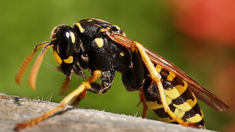Viele Wespen