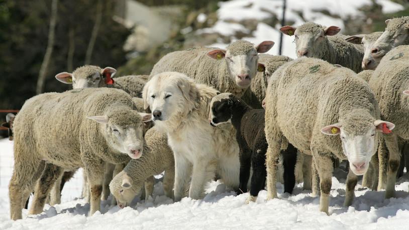 Pilotprojekt in der Surselva sucht Freiwillige für den Herdenschutz