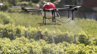 Eine Drohne überfliegt in Fully VS ein Weingut und versprüht ein Mittel gegen Pilzbefall. (Archivbild)