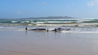 A supplied image obtained on Monday, September 21, 2020, of A pod of whales, believed to be pilot whales, that have become stranded on a sandbar at Macquarie Harbour, near Strahan, on Tasmania's west coast. (AAP Image/Tasmania Police) NO ARCHIVING,…