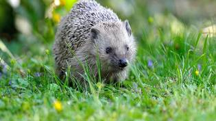 Igel Feature Bild